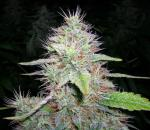 White Rhino Marijuana starin.
